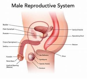 Simple Male Reproductive System Diagram