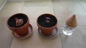 Kirschlorbeer Selber Ziehen : s kartoffel anbau 1 anzucht aus zerschnittener knolle youtube ~ A.2002-acura-tl-radio.info Haus und Dekorationen
