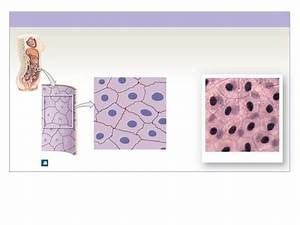 Tissues Anatomy And Physiology Quiz