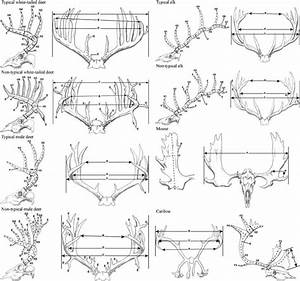 Illustrations Of Measurements Of Antlered Game According
