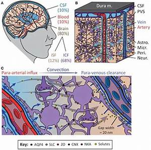 The Glymphatic System Regulates Cerebrospinal Fluid  Csf