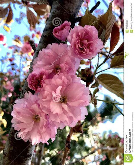 Pink Double Sakura Cherry Blossoms On Branch Stock Photo