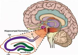 Hippocampus And Associated Structures