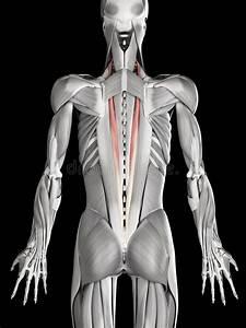 Muscle Iliocostalis Human Back Muscles Vector Illustration