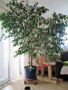 Ficus Benjamini Kaufen : ficus benjamini in st leon rot pflanzen kaufen und verkaufen ber private kleinanzeigen ~ A.2002-acura-tl-radio.info Haus und Dekorationen