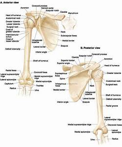 Pin By Sandy Robertson On Anatomy Bones