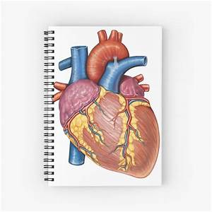 U0026quot Gross Anatomy Of The Human Heart  U0026quot  Spiral Notebook By