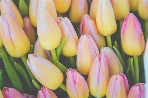 Tulpju trakums tuvojas. Ļaujies šim skaistumam... - TVNET Foto