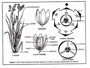 Draw The Floral Diagram Of Liliaceae  Cbse Biology Class11