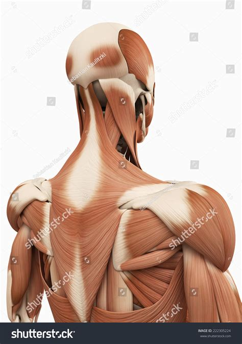 They include the trapezius latissimus dorsi levator scapulae and the rhomboids. Medical 3d Illustration Upper Back Muscles Stock ...