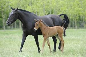 How Soon Can I Ride My Mare After Foaling