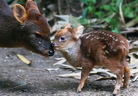LOVAC.info portal - Upoznajte vrstu najmanjeg jelena na ...