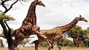 Giraffe Breeding: Tallest Animal Mating | Video - YouTube