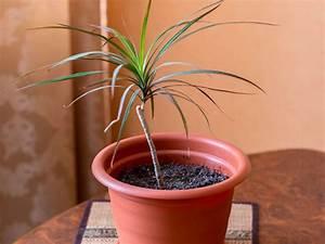 Drachenbaum Schneiden Video : drachenbaum profi tipps rund um die dracaena plantura ~ Watch28wear.com Haus und Dekorationen