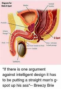 Diagram For Male G Spot Seminal Vesicles Bladder Prostate