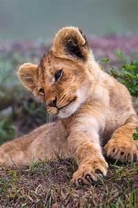 shannonleannee cute animals pinterest lionceau With serrurier fresnes