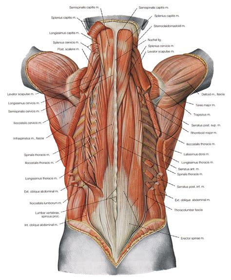 Yes these are not palpable physically. the deeper muscles of the back : Biological Science ...