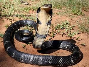 The King Cobra Snake Interesting Information & Pictures ...