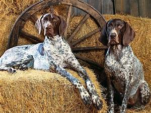 German Shorthaired Pointer - Dogs breeds | Pets