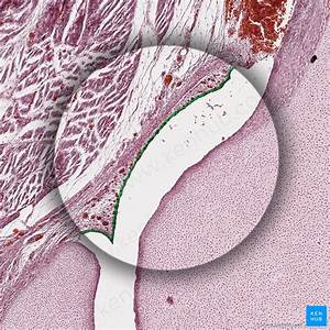 Bone Formation  Histology And Process Of The Ossification