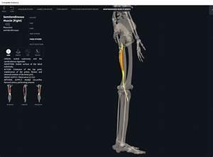 Muscles  Semitendinosus   U2013 Anatomy  U0026 Physiology