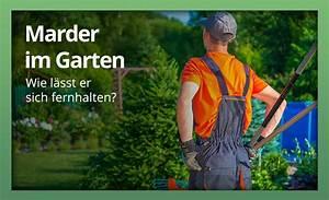 Marder Vertreiben Garten : marder im garten womit am besten abwehren und vertreiben ~ Watch28wear.com Haus und Dekorationen
