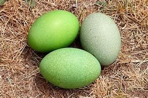 Cassowary Eggs | Papua New Guinea | Pinterest | Bird nests ...