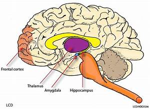 Anatomy Of Dog Brain