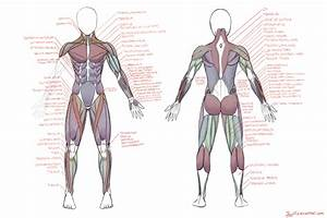 Muscle Diagram By Jay156 On Deviantart