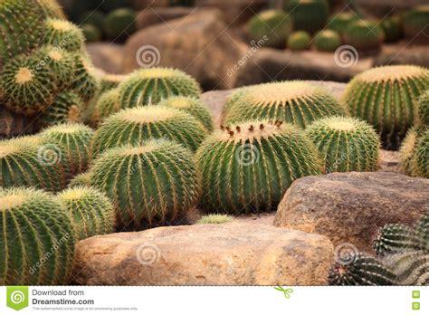 Large Spherical Cacti, Thailand, Stock Image - Image of ...
