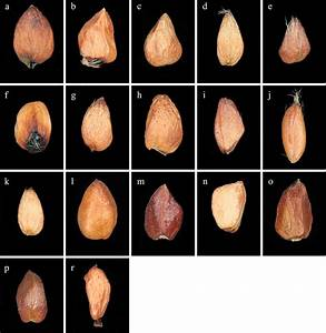 Lm Micrographs Of Achenes Of Taxa Studied  Ventral Side Of