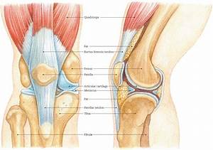 Muscles Of The Knee Pic